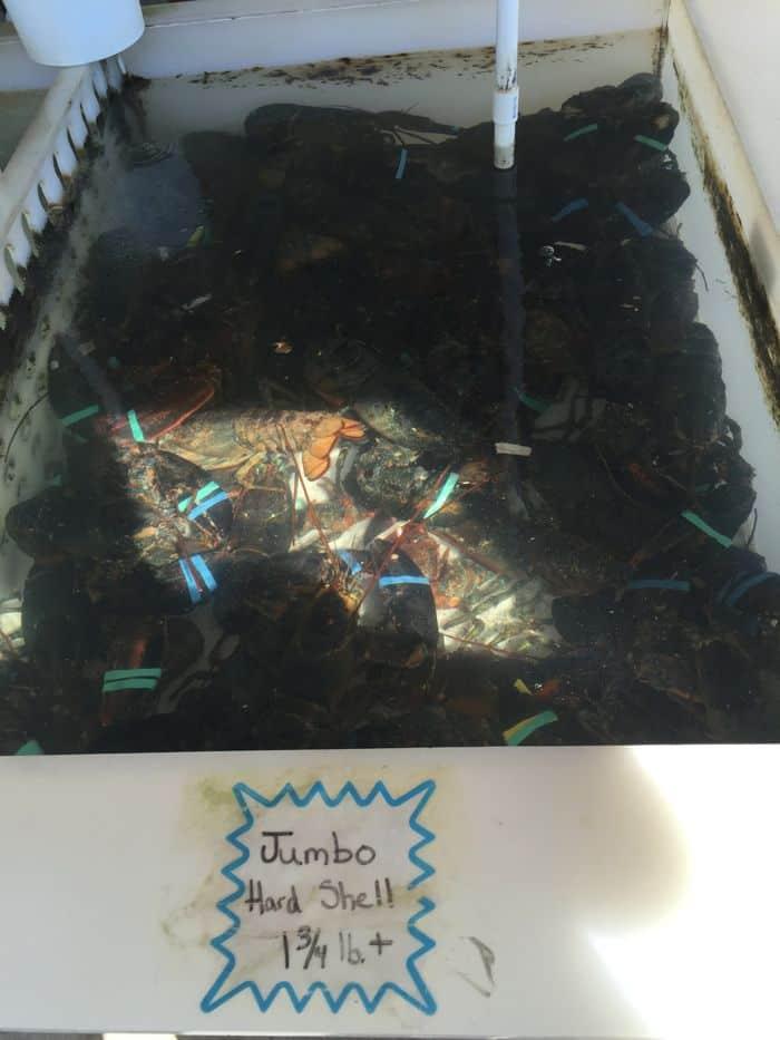 Jumbo hard shell lobsters in tank.